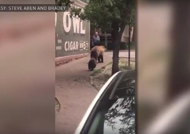 الدب الأم وأطفالها ينزلون من الشجرة في أمريكا