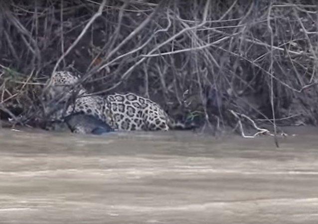 فيديو لمعركة شرسة  بين تمساح جاكوار تنتهي لصالح النمر