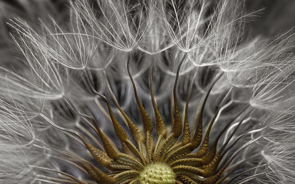 صورة لزهرة الشيخة الشائعة (نوع نباتي يتبع جنس الشيخة من الفصيلة النجمية) ، والصورة مكبرة مرتين - حائزة على المرتبة الـ 2، إسرائيل