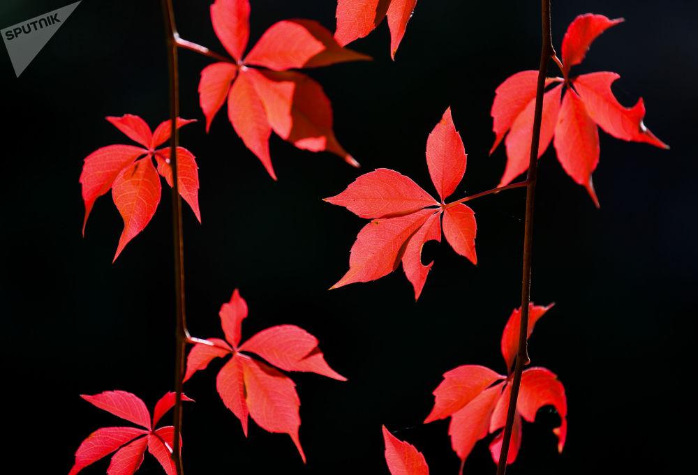 أوراق الخريف الحمراء في حديقة ألمانيا