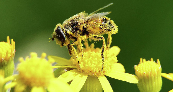 حشرات نحلة رحيق