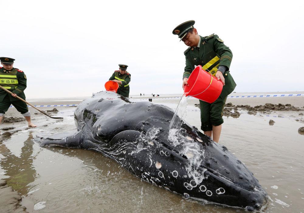 الشرطة الصينية تصب الماء على حوت قذفت بع أمواج البحر إلى شواطئ كيدونغ، الصين 13 نوفمبر/ تشرين الثاني 2017