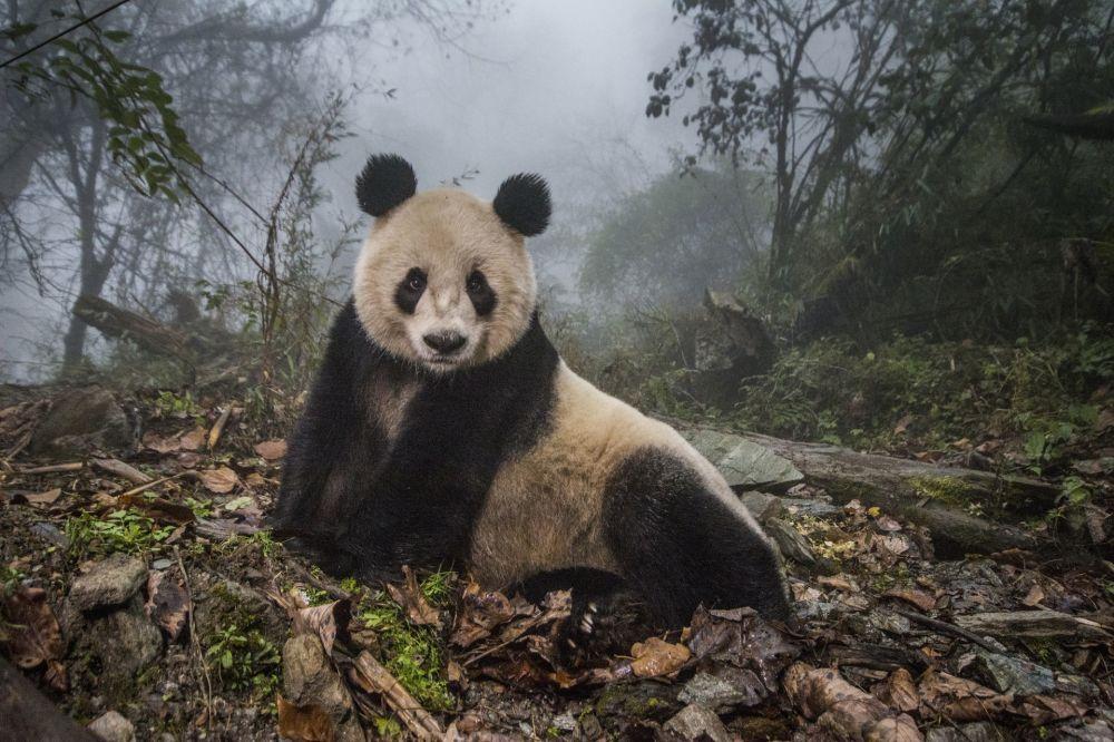صورن بعنوان الباندا البرية للمصور آمي فيتال، الحائزة على المرتبة الثانية في فئة الحيوانات في بيئتها