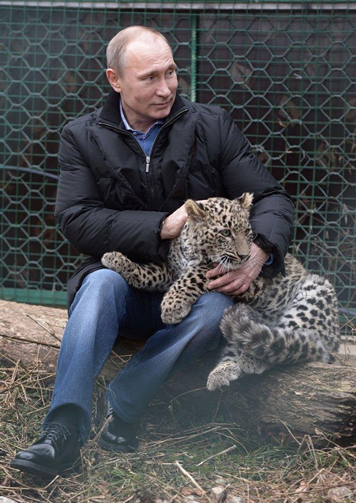 من أرشيف المكتب الصحفي التابع للرئاسة الروسية - الرئيس فلاديمير بوتين خلال زيارته لمركز إعادة تأهيل الفهود في سوتشي، روسيا