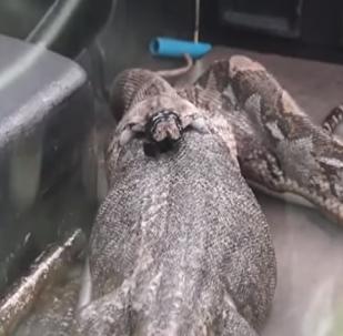 شرطة تايلند تستخرج سحلية ضخمة ابتلعها ثعبان عملاق