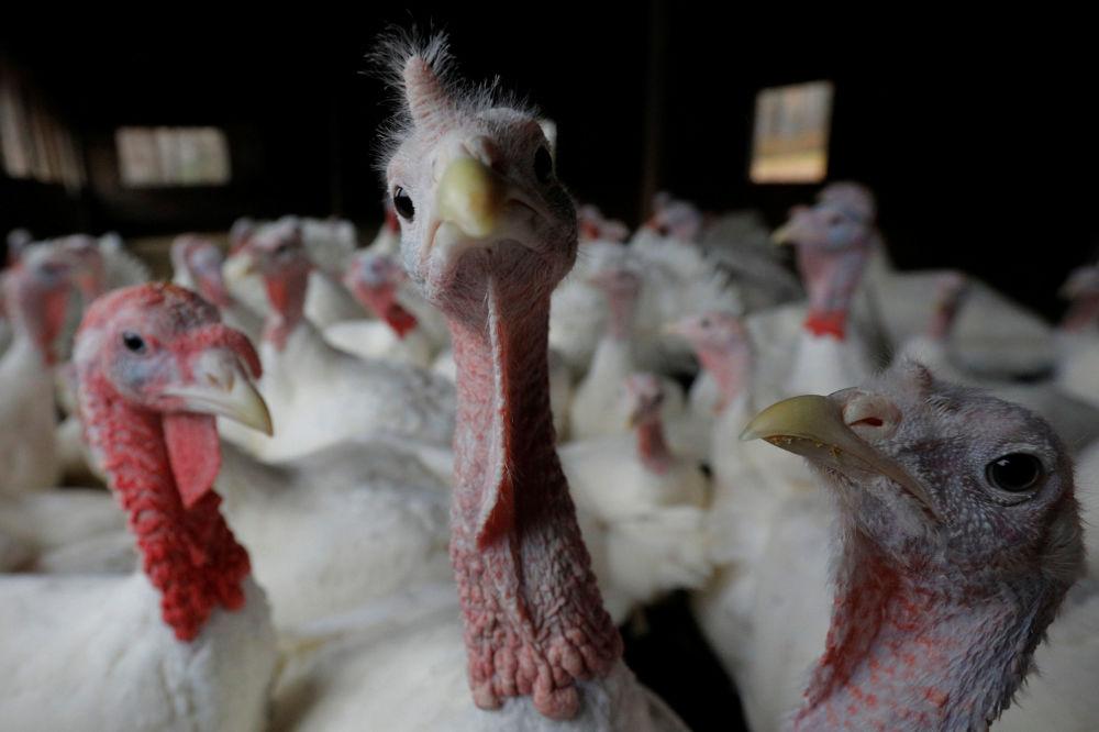 التحضيرات لعيد الشكر في الولايات المتحدة 22 نوفمبر/ تشرين الثاني 2017