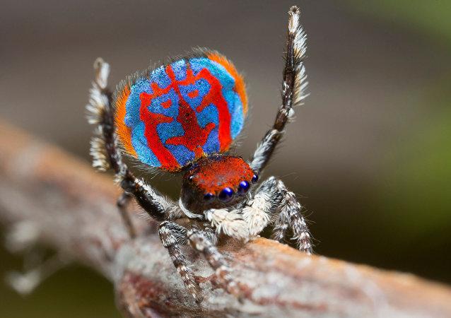 عنكبوت في أستراليا