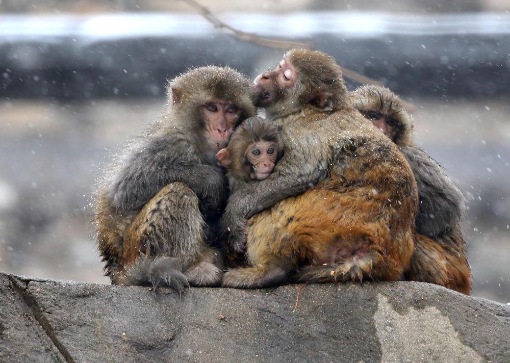 عناق القرود خلال تساقط الثلوج في ليانيونغانغ، الصين 14 ديسمبر/ كانون الأول 2017