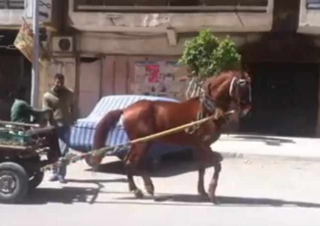 حصان يرقص على أنغام أغنية شعبية