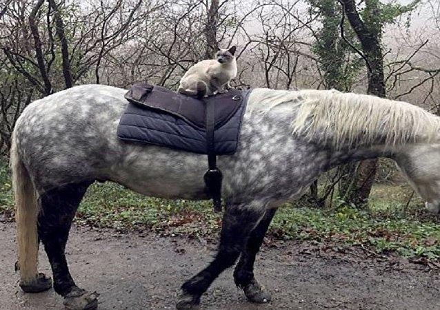 حصان يحمل قطا