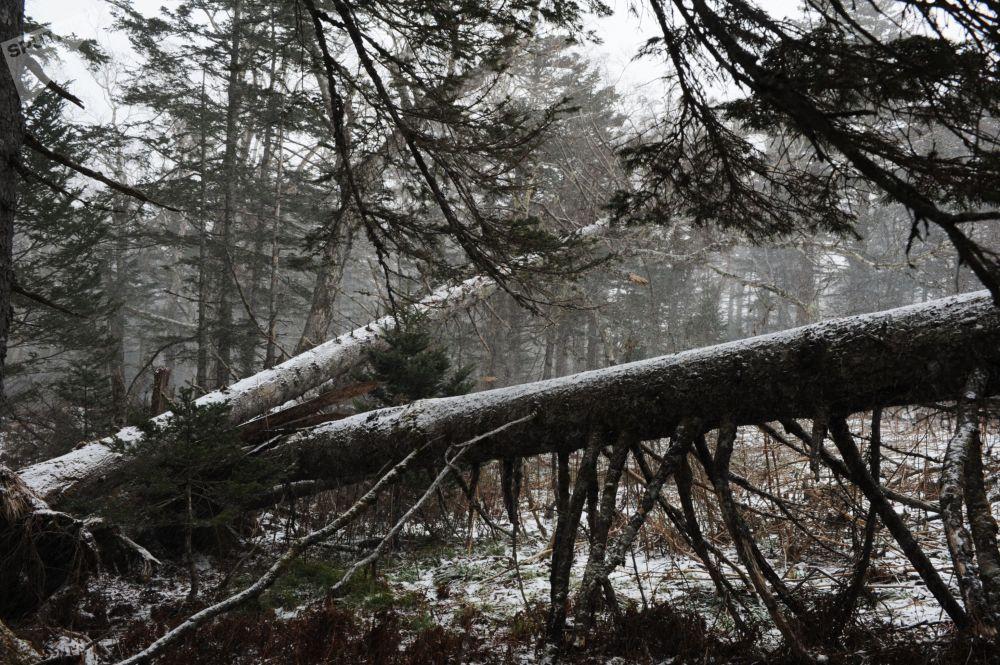 جذوع أشجار سقطت إثر إعصار ضرب منطقة فيلاتوفسكي كوردون
