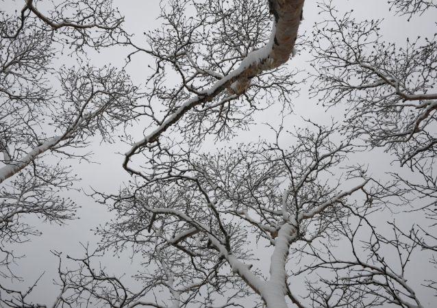ثلج يغطي أشجار منطقة ساراتوفسكي كوردون في محمية الكوريل الطبيعية
