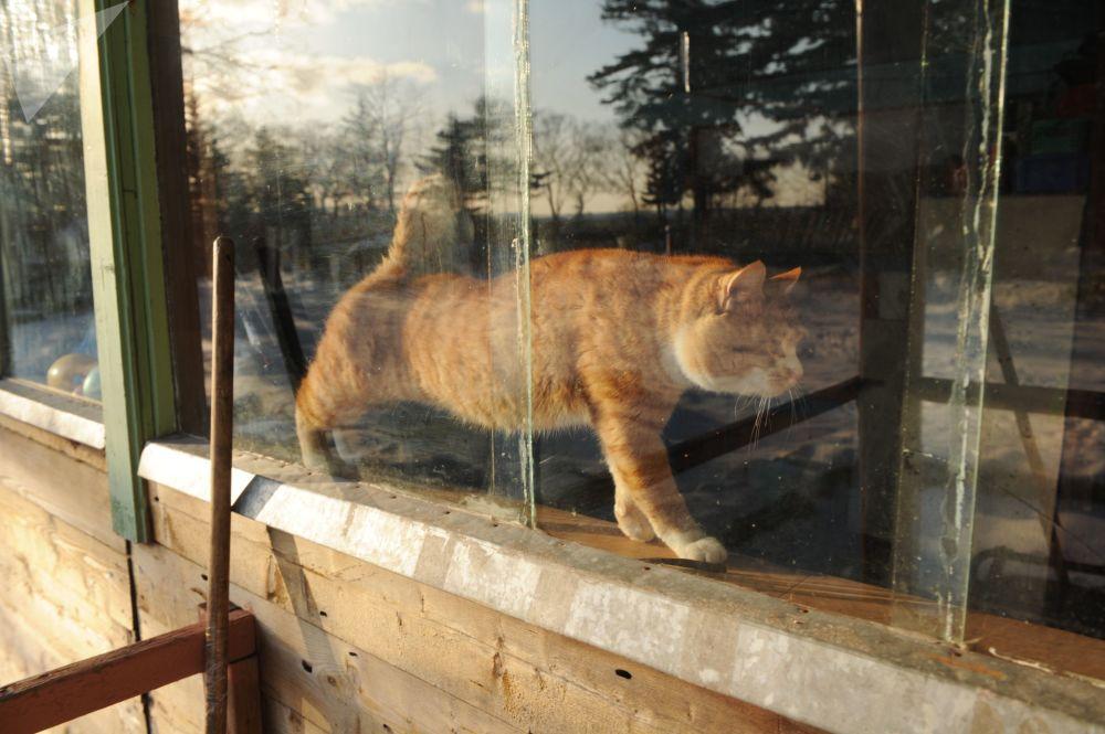 قط في منطقة فيلاتوفسكي كوردون في محمية الكوريل الطبيعية