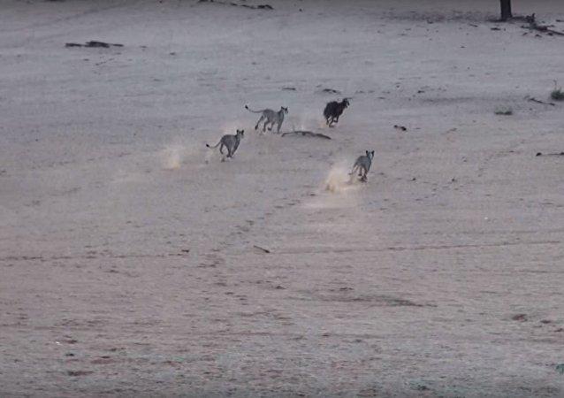 مطاردة مجموعة أسود لضبع في حديقة للحيوان