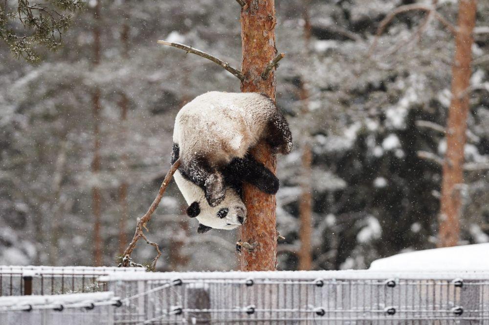 دب الباندا لومي، تلعب على الشجرة في حديقة الحيوانات أهتاري في أهتاري، فنلندا 17 فبراير/ شباط 2018