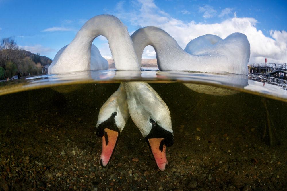 مسابقة صور تحت الماء لعام 2018 - صورة فائزة في Love Birds للمصور البريطاني غرانت توماس، في فئة  British Waters