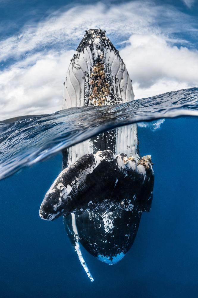مسابقة صور تحت الماء لعام 2018 - صورة في المرتبة الأولى Humpback whale spy hopping للمصور الفرنسي غريغ لوكور، في فئة  Wide Angle