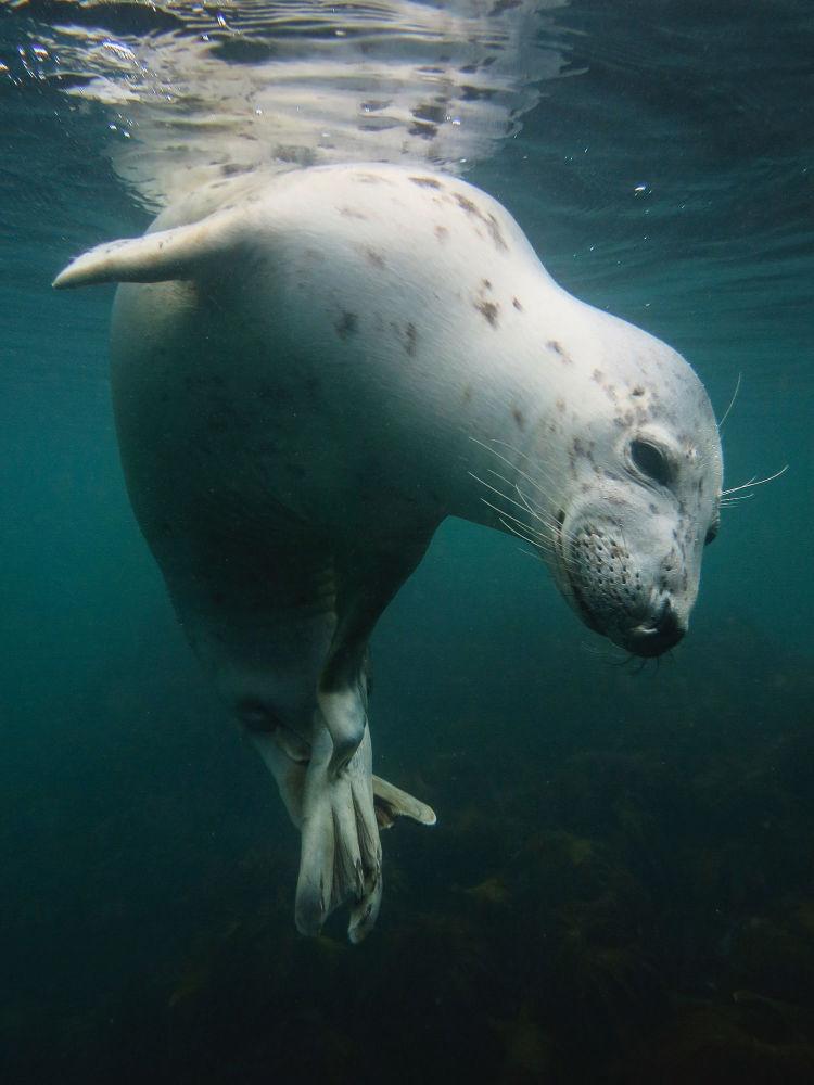 مسابقة صور تحت الماء لعام 2018 - صورة في المرتبة الأولى Scratchy Seal للمصور البريطاني فيكي باينتر، في فئة  British Waters Compact