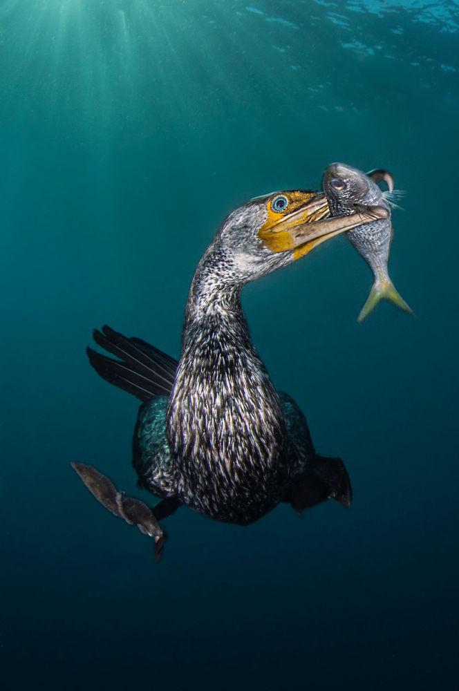 مسابقة صور تحت الماء لعام 2018 - صورة في المرتبة الأولى The Fisherman للمصور اللإيطالي فيليبو بورغي، في فئة  Behaviour