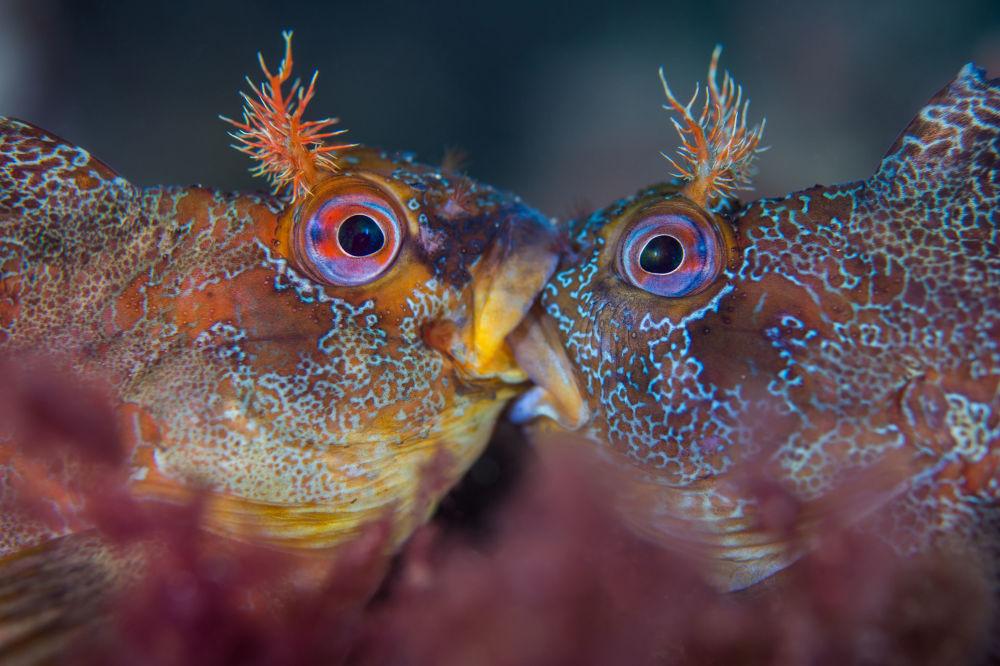 مسابقة صور تحت الماء لعام 2018 - صورة في المرتبة الأولى Battle of the Tompots للمصور البريطاني هينلي سبيرز، في فئة  British Waters Macro