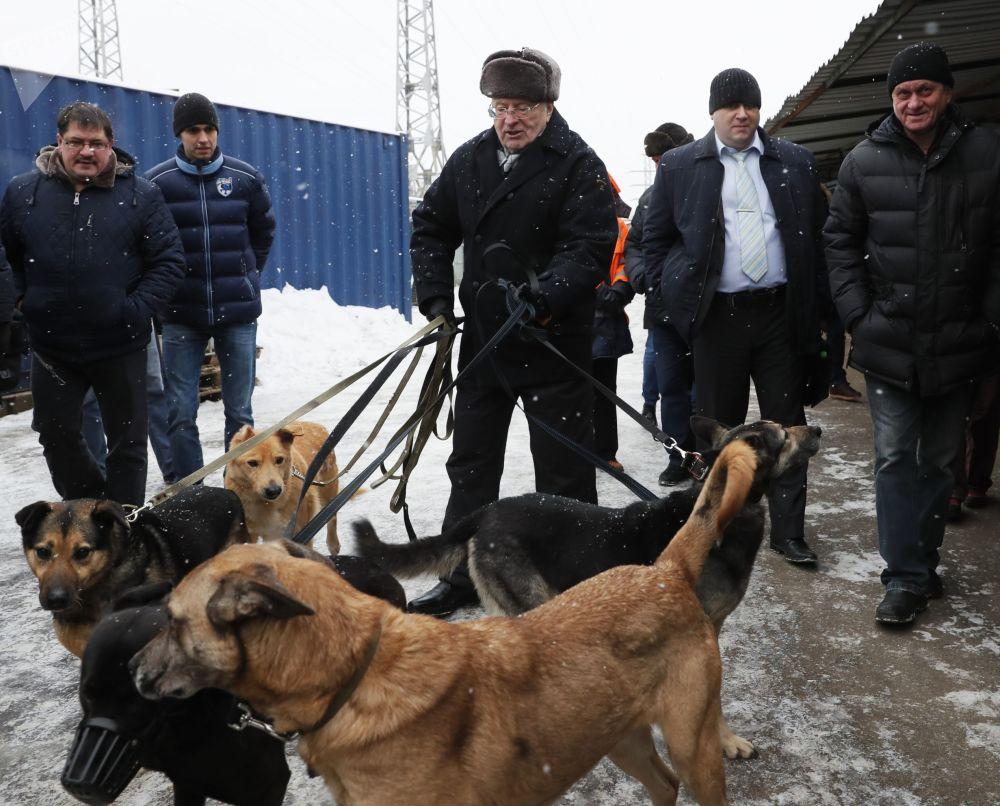 زعيم الحزب الديموقراطي الليبرالي الروسي، فلاديمير جيرينوفسكي أثناء زيارته ملجأ للكلاب كراسنايا سوسنا في موسكو