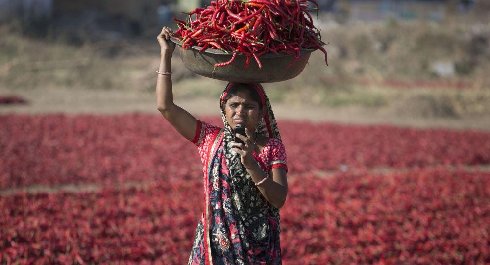 امرأة هندية تنظر إلى هاتفها النقال خلال حصاد الفلفل الأحمر الحار في غانديناغار، الهند 25 فبراير/ شباط 2018