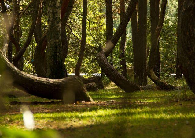 غابة من أشجار الصنوبر المنحنية في محيط قرية نوفي تسارنوفو في غرب بولندا