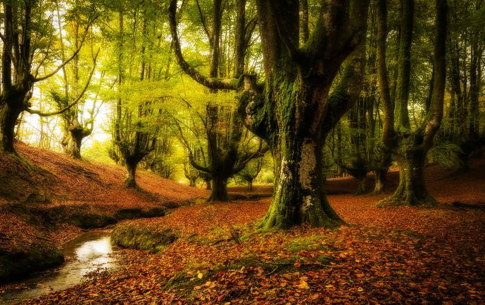 غابة أوتزاريتا، في إقليم الباسك، إسبانيا. وهي غابة ضبابية تحتوي على فروع أشجار منمقة.