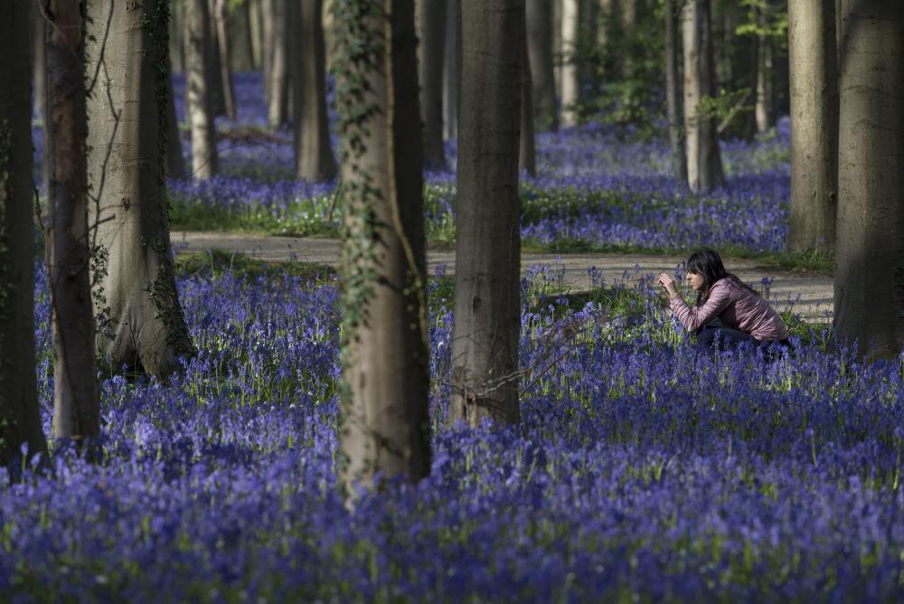 الغابة القديمة هاليربوس Hallerbos في بلجيكا. التي تتميز بمناظر طبيعية جميلة بشكل غير عادي، حيث خلال تنمو أزهار الجرس بين جذوع أشجار سكويا العملاقة