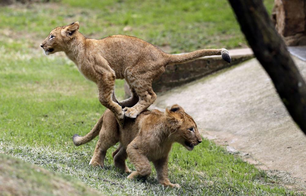 أسدان صغيران يلعبان في حديقة جوهانسبرغ، جنوب أفريقيا 19 مارس/ آذار 2018