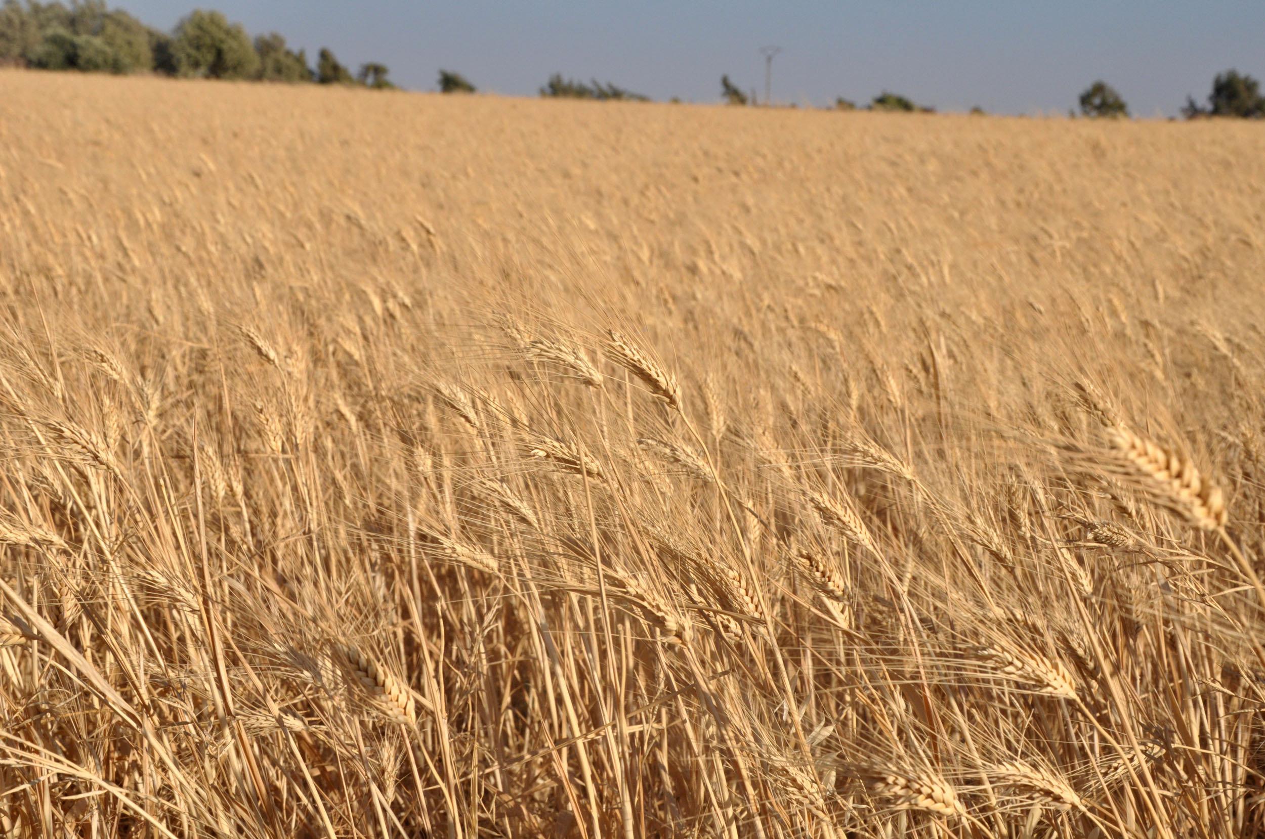 القمح السوري