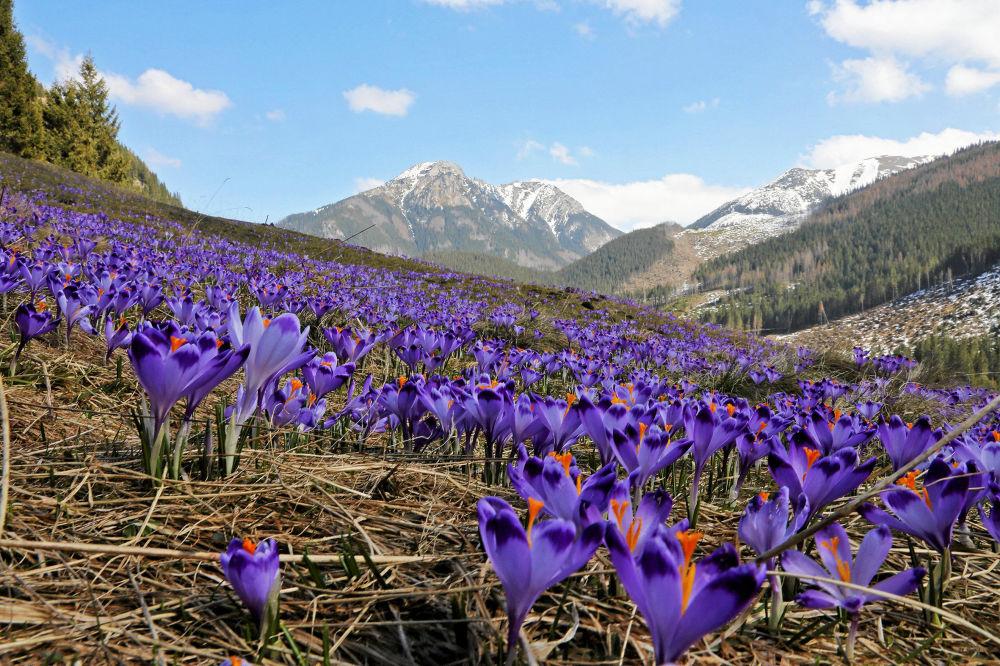 زهور الزعفران في وادي خوخولوفسك في جبال تاترا بالقرب من مدينة زكوبن، بولندا 8 أبريل/ نيسان 2018