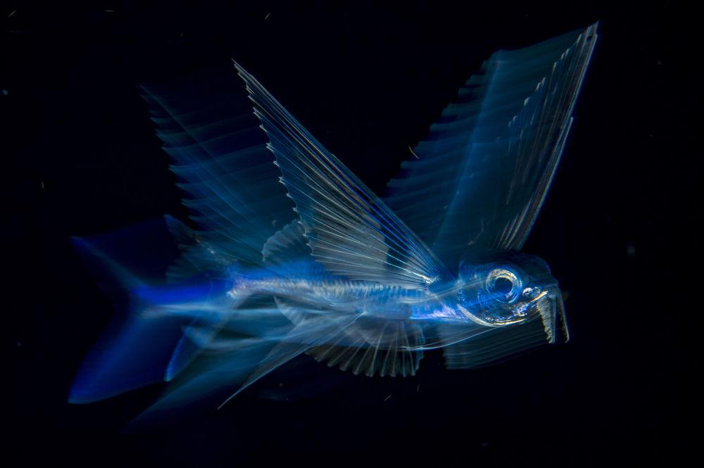 مسابقة صور الصحافة العالمية لعام 2018 - صورة بعنوان السمكة الطائرة للمصور مايكل باتريك أونيل من الولايات المتحدة، الفائزة بالمرتبة الثالثة في فئة الطبيعة