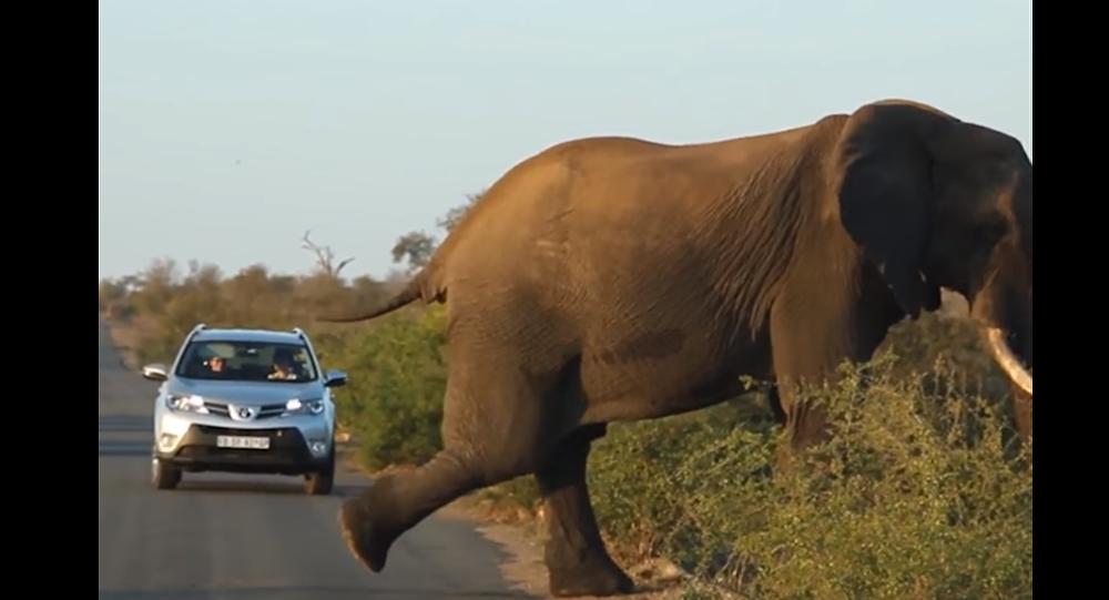فيل يمارس اليوغا في منتصف الطريق