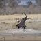 صراع الأسود مع الفيل