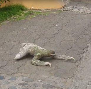 حيوان الكسلان يمر أحد شوارع كوستاريكا