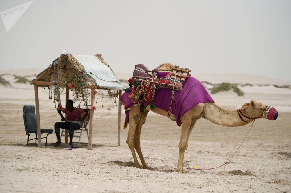 جمل في صحراء خور العديد في الدوحة، قطر