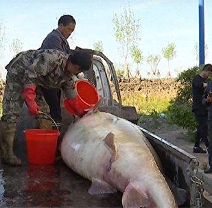 صيد سمكة عملاقة