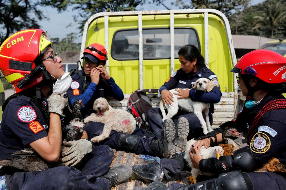 رجال الإطفاء ينقذون الحيوانات في منطقة متضررة من ثوران بركان فويغو في مجمع سكني سان ميغيل لوس لوتيس في إسكوينتلا، غواتيمالا في 5 يونيو/ حزيران 2018
