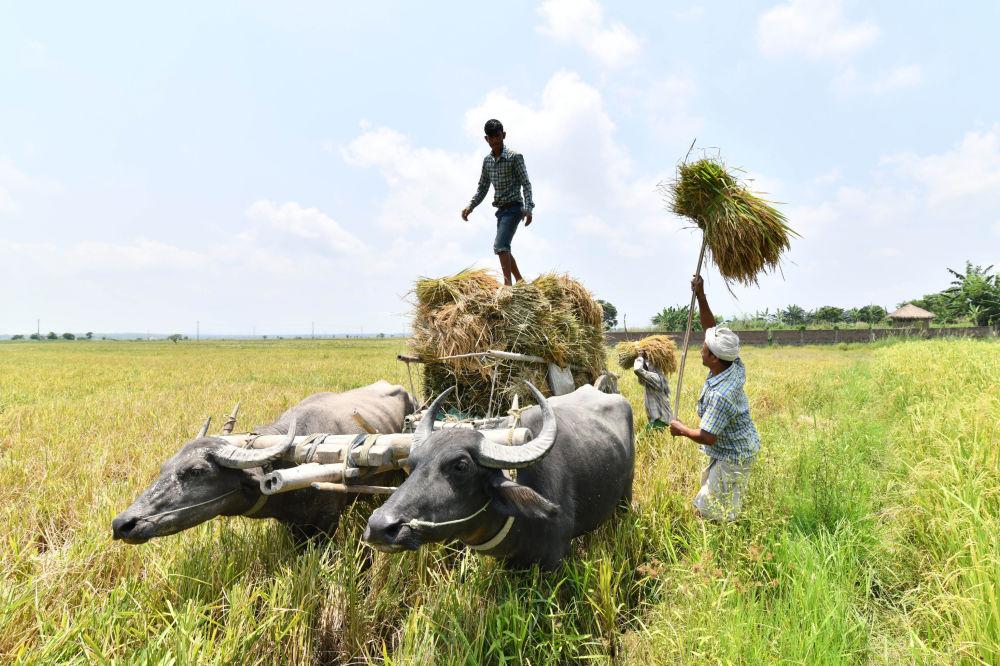 المزارعون الهنود يجمعون الأرز في قرية بورها مايونغ في ولاية آسام الشمالية في 3 يونيو/ حزيران 2018