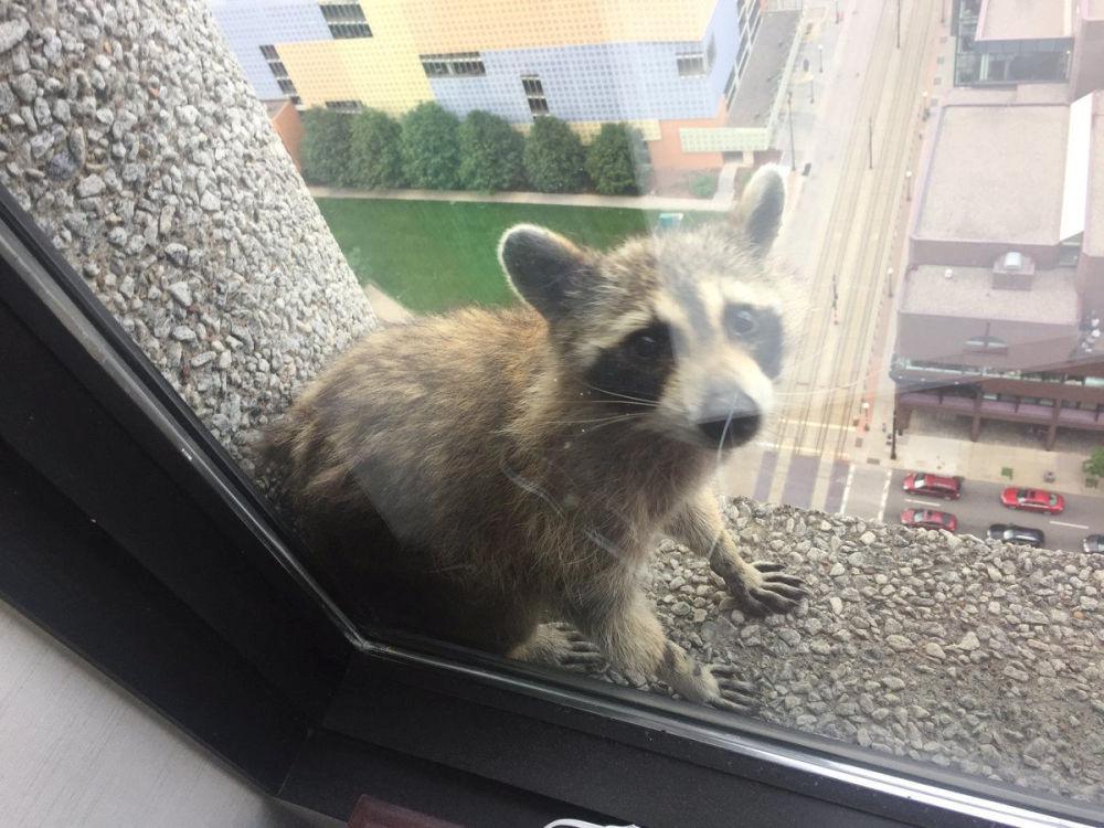 حيوان الراكون على نافذة مبنى  في سانت بول بولاية مينيسوتا، الولايات المتحدة 12 يونيو/ حزيران 2018، وهذه الصورة تم تداولها كثيرا على وسائل الإعلام الاجتماعية