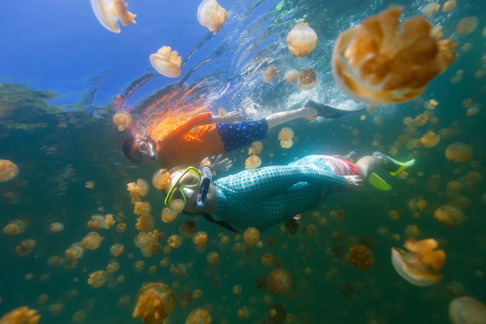 صورة تحت الماء للغطس العائلي مع قناديل البحر الذهبية في بحيرة في بالاو. يعتبر الغوص في نشاطًا شهيرًا للسياح إلى بالاو