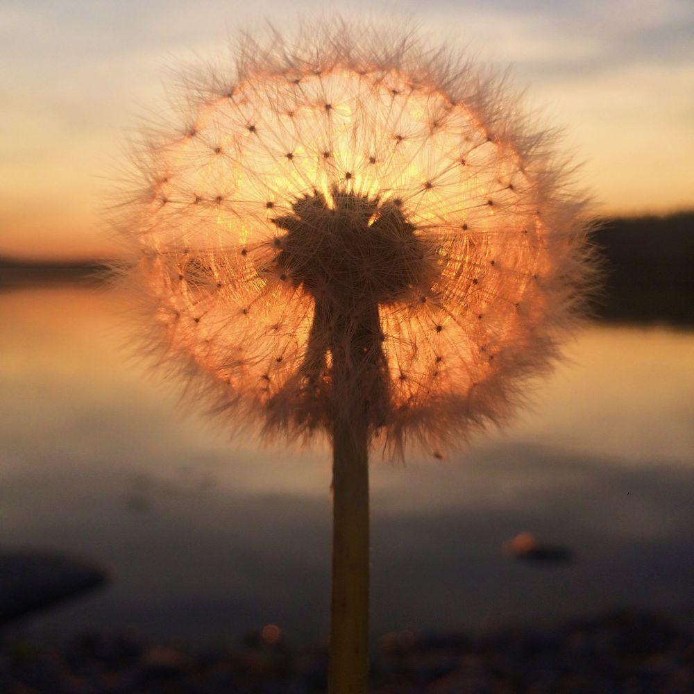 صورة بعنوان Dandelion sunset، للمصورة سارة رونكانين، الحائزة على المركز الأول في فئة الغروب