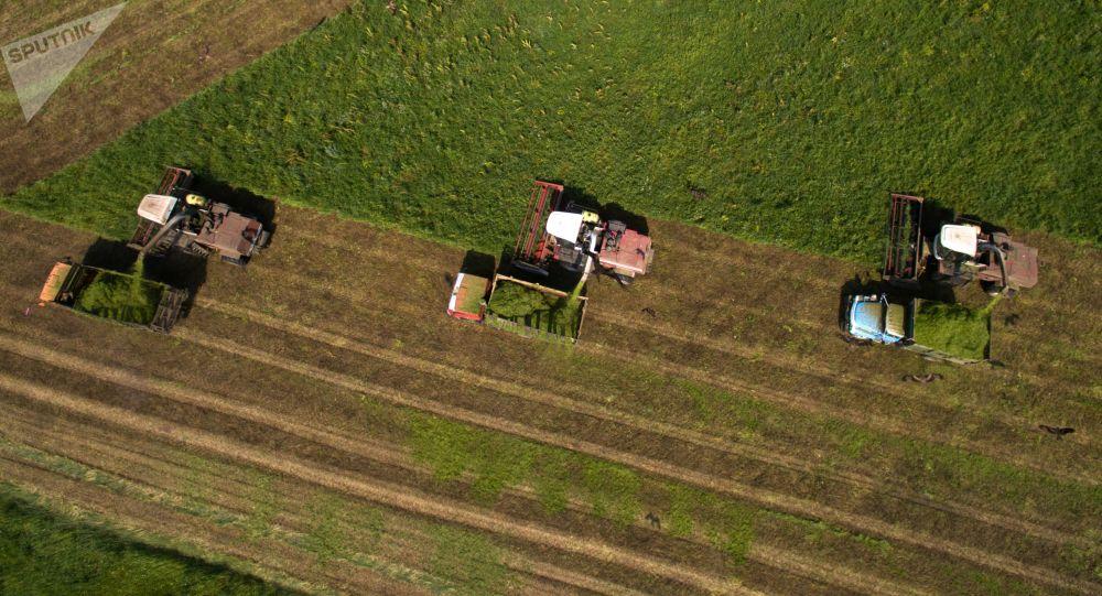 حصاد حقول كروتيشينسكوي في منطقة نوفوسيبيرسك الروسية