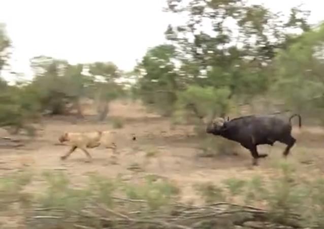 جاموس يطارد عدة لبؤات حاولن على الهجوم على القطيع
