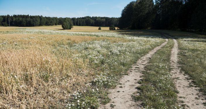 حقل القمح المتضرر في أوسترهانيج (Österhaninge) وسط السويد، 9 يوليو/ تموز 2018