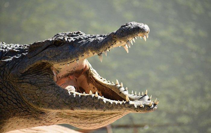 فتاة غاية في الشجاعة تروض تمساحا ضخما