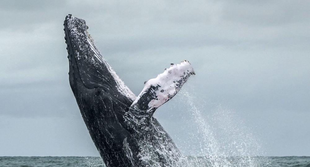 الحوت  الأحدب أثناء قفزه من مياه المحيط الهادئ، التي تعتبر جزء من حديقة أورامبا - خليج مالاغا الوطنية الطبيعية في كولومبيا، في 12 أغسطس/ آب 2018