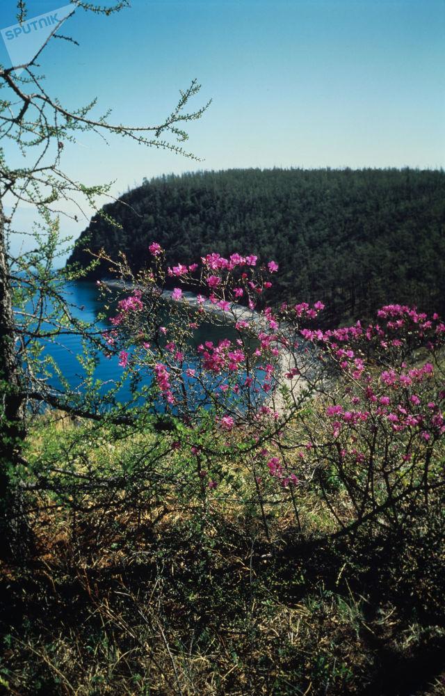 تفتح أزهار شجر شاي لبرادوار حول بحيرة بايكال