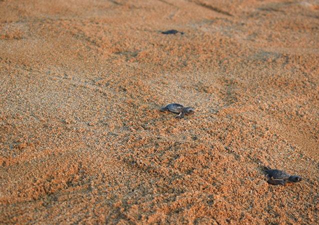 السلاحف الخضراء تنطلق نحو البحر من شاطئ المنصوري في لبنان